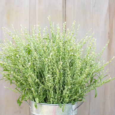 Persian Cress Cress, Ornamental