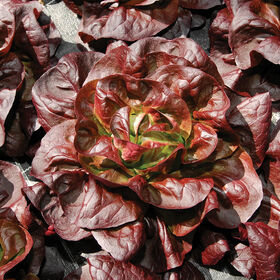 Teodore Butterhead Lettuce (Boston)
