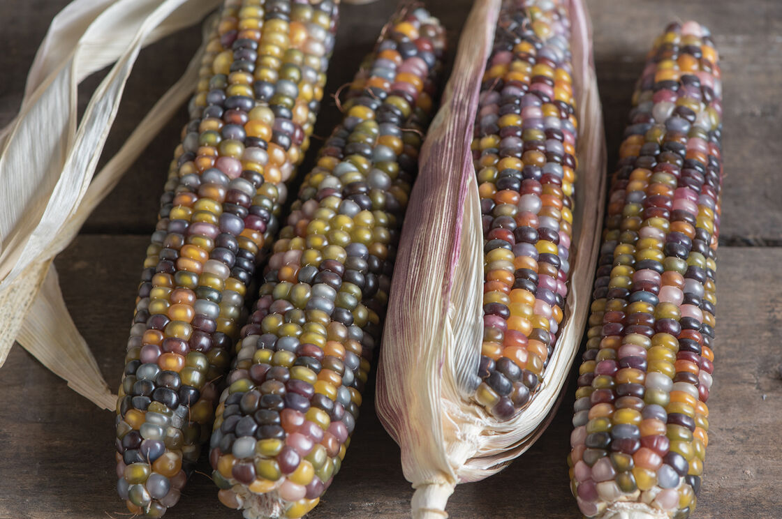 Glass Gem Corn Seed 100 Guaranteed Johnny S Selected Seeds