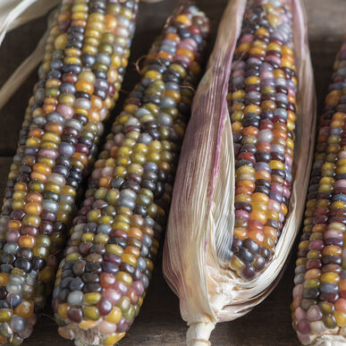 Glass Gem Dry Corn