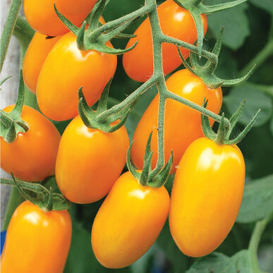 Nova Grape Tomatoes