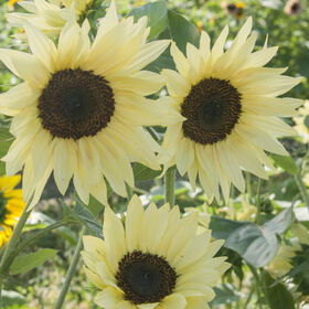 Buttercream Tall Sunflowers