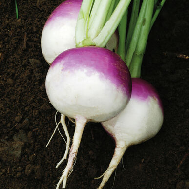 Purple Top White Globe Turnips