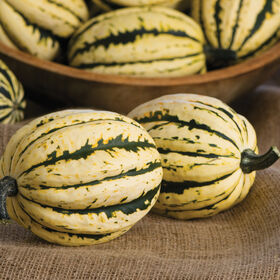 Jester Winter Squash