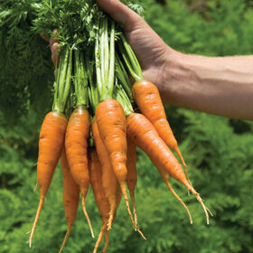 Caracas Early Carrots