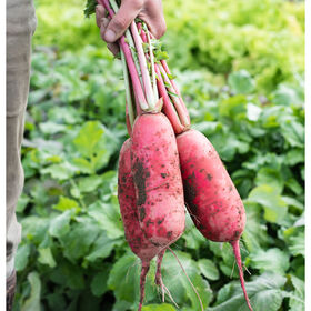 Red King 2 Daikon Radishes