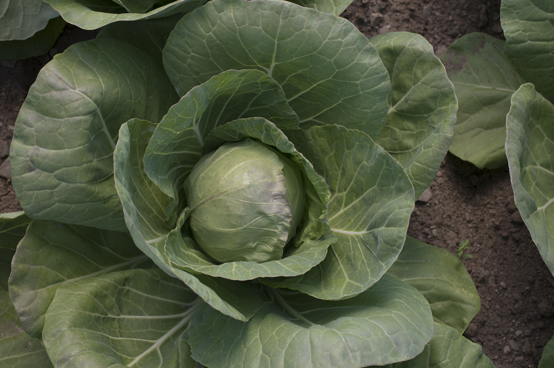 Mature cabbage size