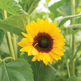 ProCut® Orange DMR Tall Sunflowers