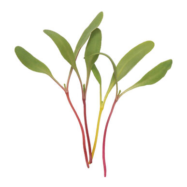 Chard, Rainbow Microgreen Vegetables