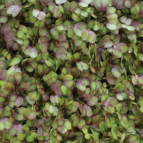 Kale, KX-1 Microgreen Vegetables