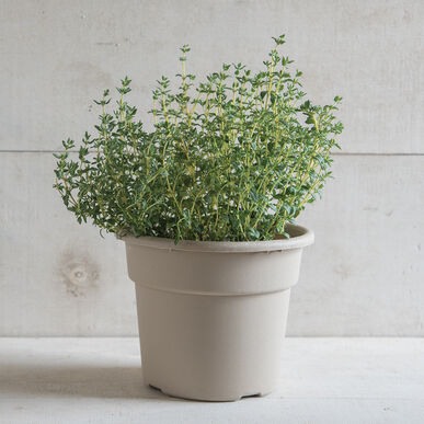 Thyme Thyme