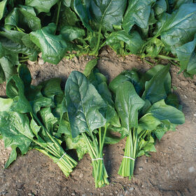 Flamingo Improved Arrowhead Spinach (Asian-leaf)