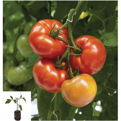Geronimo/Maxifort Grafted Grafted Tomato Plants