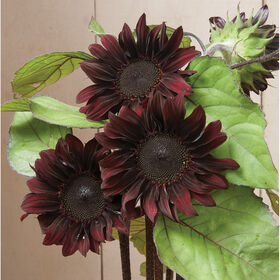 Red Hedge Tall Sunflowers