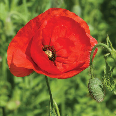 Corn Poppy Flower Seed Johnny S Selected Seeds