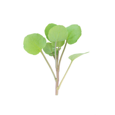 Watercress Cress