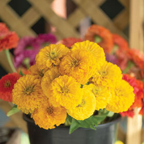 Giant Golden Yellow Zinnias