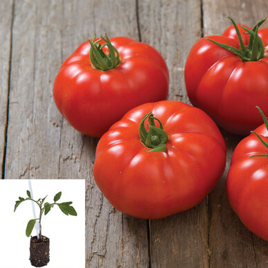 Marbonne/Estamino Grafted Grafted Tomato Plants