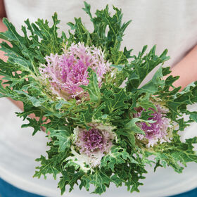 Crane Feather King White Kale, Ornamental