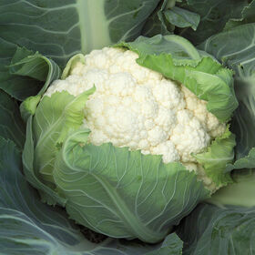 Bishop Standard Cauliflower