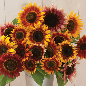 Autumn Beauty Tall Sunflowers