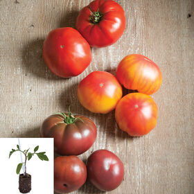 Grafted French Heritage Tomato Collection Grafted Tomato Plants