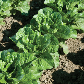 Green Forest Romaine Lettuce (Cos)