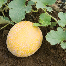 Arava Galia Melons (Tropical)
