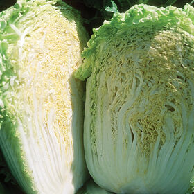 Minuet Chinese Cabbage