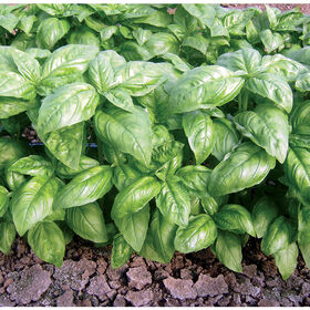 Dolly Genovese Basil