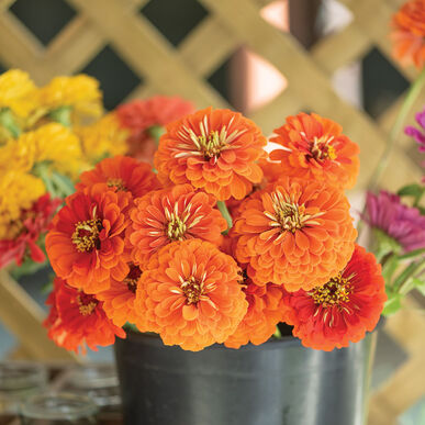 Giant Orange Zinnias