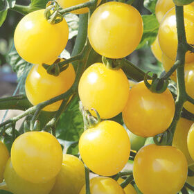 White Cherry Cherry Tomatoes