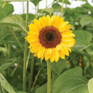 ProCut® Horizon Tall Sunflowers