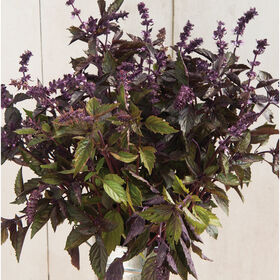 Aromatto Basil, Ornamental