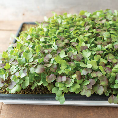 Kale, Kalefetti Mix Microgreen Mixes