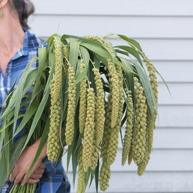 Lime Light Spray Millet Grasses, Ornamental