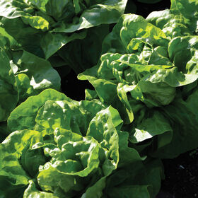 Adriana Butterhead Lettuce (Boston)