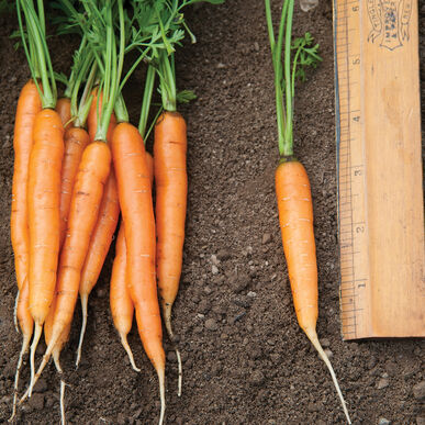 Adelaide Early Carrots