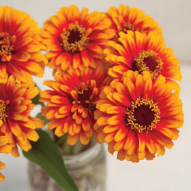Zowie!™ Yellow Flame Zinnias