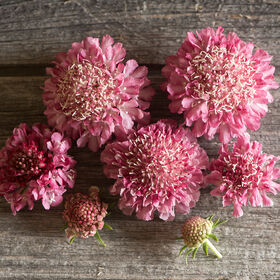 Salmon Rose Scabiosa (Pincushion Flower)