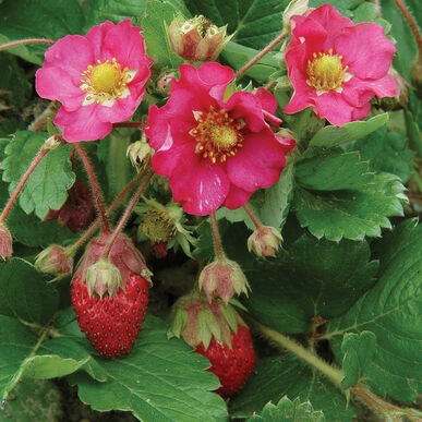 Tarpan Strawberry Seeds