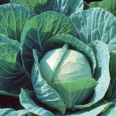 Farao Fresh Market Cabbage