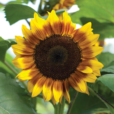 ProCut® Bicolor Tall Sunflowers