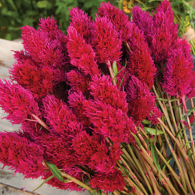 Eternity Improved Celosia