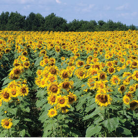 Royal Hybrid® 1121 Sunflower Tall Sunflowers