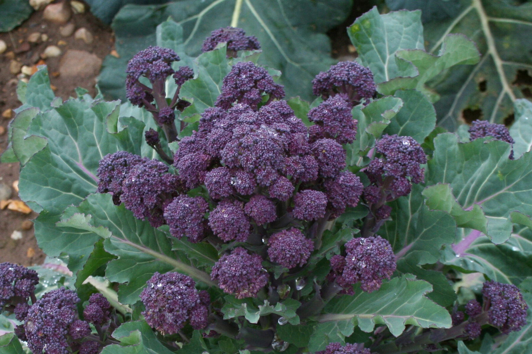 NON-GMO Variety Sizes Heirloom Purple Sprouting Broccoli Seeds FREE SHIP