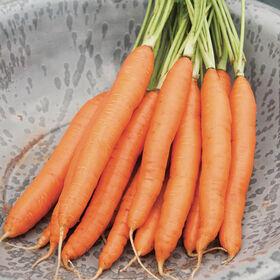 Romance Main Crop Carrots