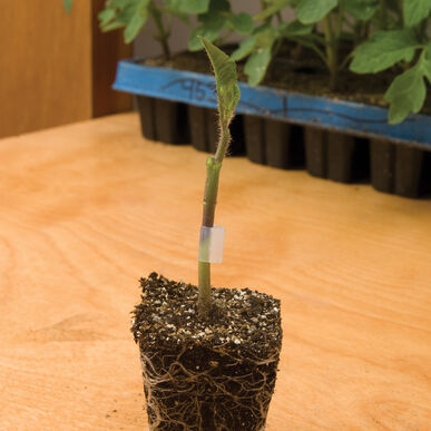 Maxifort Rootstock Tomatoes