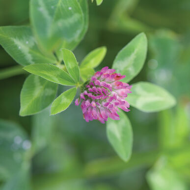 Medium Red Clover Clovers
