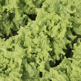 Black Seeded Simpson Heritage Lettuce